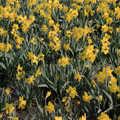 1991 More daffodils