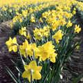 1991 Bright yellow daffs