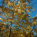 2006 Silvery-yellow leaves