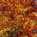 2006 Golden leaves and blue sky, Thornham Estate