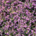 2021 Bright purple flowers